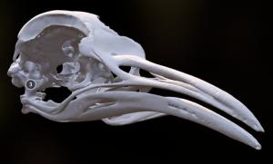 skullsite – Bird Skull Collection